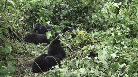 Exclusive Gorilla Safaris In Uganda