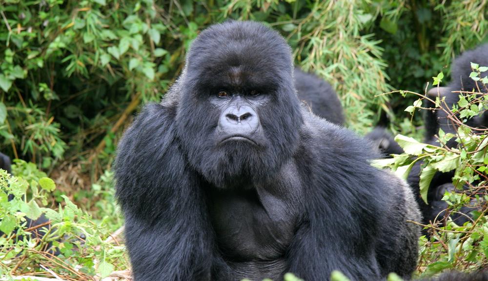 mgahinga mountain gorilla trekking