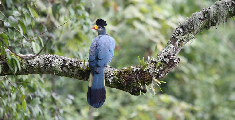 birding in mgahinga