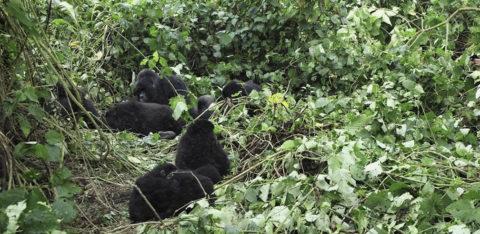 Exclusive Gorilla Safaris In Uganda